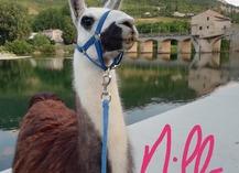Lamas du Soleil - Millau