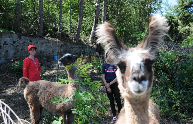 Lamas du Soleil 3 - Millau