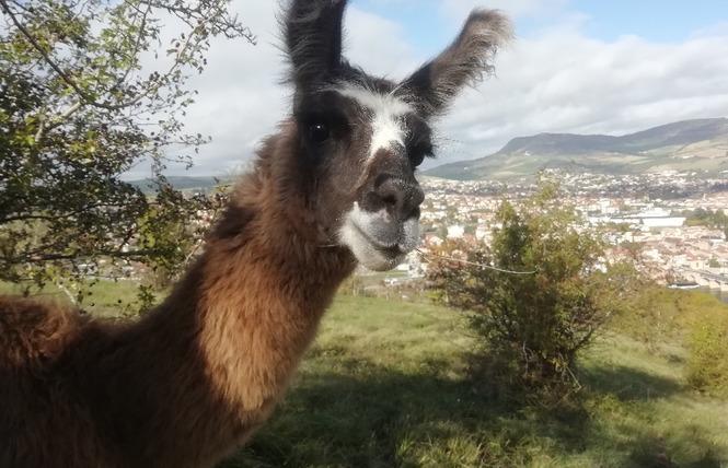 Lamas du Soleil 4 - Millau
